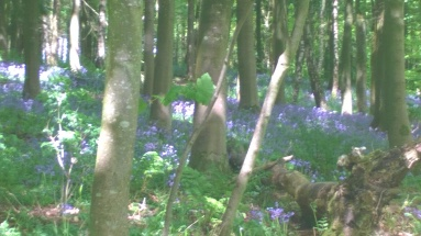 Bluebells in Ridge Woods (1)