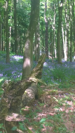 Bluebells in Ridge Woods (2)